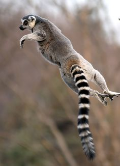 Ring tailed lemur by floridapfe on Flickr.