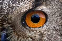 Eurasian eagle-owl eye. Close-up of the head of a Eurasian eagle-owl (Bubo bubo), showing one of its large eyes. This bird is found in parts of Europe, Asia and North Africa.
