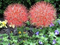 Blood Lily -- awesome flowers and also beautiful foliage. Added 5 to the shade area this spring. Love Garden, Garden Tips, Garden Ideas, Florida Native Plants, Florida Flowers, Bell Gardens, Florida Gardening, Growing Gardens, Bloom Where You Are Planted