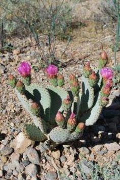 Desert flower cactus