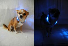 Today we can link to a blog from our  new fan Rocky. He is a Chihuahua born in 2008 and is proud of his nes light collar LEUCHTIE Mini in blue. You can read his blog and test under   http://doggy-testblog.blogspot.co.uk/search/label/LEUCHTIE