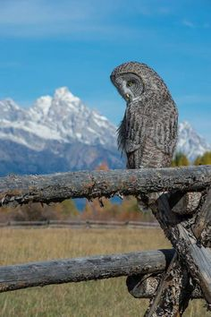 behind the fence ...Great Grey Owl