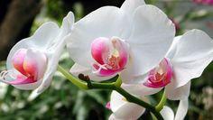 Entretien d'une Orchidée