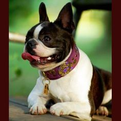 dog collar for medium to large breed many leather options beautiful worldwide shipping Klea Levin design quality dog collar greyhound Pointer Pinscher Unique Dog Collars, Wild Dogs, Gaudi, Dog Accessories, Large Dogs, Best Dogs, Boston Terrier, French Bulldog, Sport