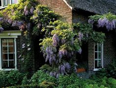 Die  rankende Kletterpflanze Blauregen  (Wisteria sinensis) zeigt im  Frühsommer  in  langen ...