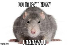 Rodent Humor - Need help with scurrying pests? Call us today! We dare you… :) - Rodent Humor – Need help with scurrying pests? Call us today! We dare you… :), - Funny Rats, Cute Rats, Funny Animal Memes, Funny Animals, Cute Animals, Small Animals, Bees And Wasps, Pest Control Services, Humming Bird Feeders