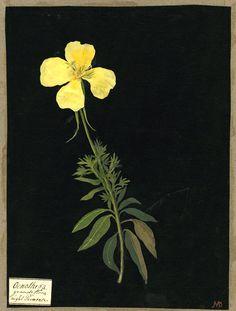 i always loved botanical prints; i might like botanical paintings even more.