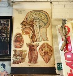 Vintage American Frohse Anatomical Chart   Head and Neck #7  Pull Down Medical Chart   1919   Signed and Noted Bu Illustrator Max Bropel  $450  Booth #1212  Lula B's  1010 N. Riverfront Blvd. Dallas, TX 75207