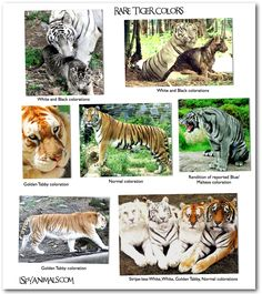 Types-of-tigers-8.jpg | Animal Pictures