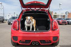 Mascot | Bulldog | Car | MINI Cooper | MINI bulldog | MINI cooper bulldog | dogs | pets | cars and dogs | cute | adorable | MINI in Denver | MINI Colorado | schomp MINI