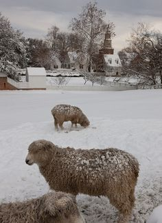 Sheep In Snow Storm ~♥~