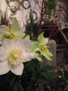 Jouluruusut Rosendalin puutarhalla.