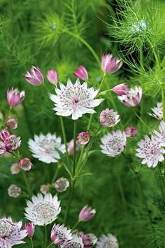 Astrantia major Seeds or perennial plant, they are hardy and good for bees and other pollinators.