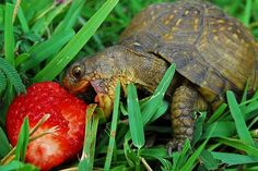 Tortoise eating strawberry