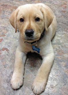 SPLASHDUCK sharing cute adorable animal pictures and awesome related websites.   Riggins the Labrador Retriever