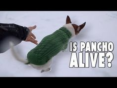 Why chihuahuas don't run on the snow? - YouTube
