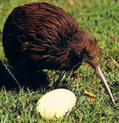 See in New Zealand a Kiwi is a flightless, nocturnal bird that is our national bird and some species are on the endangered list. Exotic Birds, Colorful Birds, Reptiles, Mammals, Our National Bird, Beautiful Birds, Love Birds, Beautiful Butterflies, Nocturnal Birds