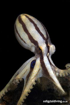 Ocelated Octopus