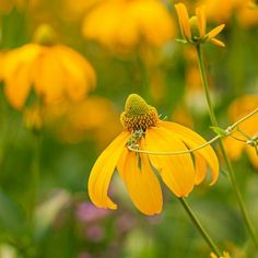 Yellow coneflowers thrive at this Wisconsin garden: http://www.midwestliving.com/garden/featured-gardens/garden-tour-heart-and-soil?page=11