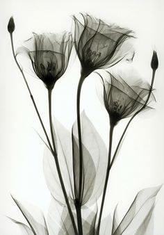 black flowers x-ray black flowers gardening black flowers pictures black flowers black flowers products black flowers image small black flow. Tulip Tattoo, Flor Tattoo, Black And White Flowers, Black White, Pink Flowers, Arte Floral, Photo Wallpaper, Picture Design, White Photography