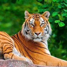tiger-big-cat-carnivore-lie-stone-2048x2048.jpg (2048×2048)