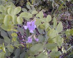 Wild Sweet Pea/Kay's Creek Wildflowers/ Utah/ Wasatch Bloomers Utah Wildflowers