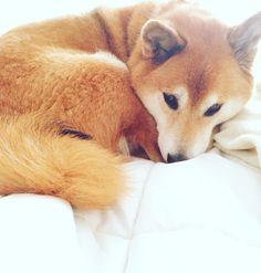 sleepy morning shiba