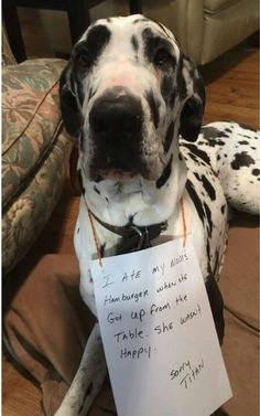 "Learn additional details on ""great dane puppies"". Check out our site. Great Dane Funny, Great Dane Dogs, Silly Dogs, Big Dogs, Giant Dogs, Funny Animals With Captions, Funny Animal Pictures, Merle Great Danes, Dane Puppies"