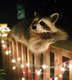 These animals just wanted to greet their neighbors! - news-kiwi.de - These animals just wanted to greet their neighbors! – news-kiwi. Baby Animals, Funny Animals, Cute Animals, Wild Animals, Animal Espiritual, Backyard Dog Area, Backyard Games, Cute Raccoon, Christmas Animals