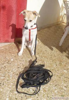 Dog Runs, Hunting Dogs, Dog Training, Leather, Animals, Hound Dog, Big Dogs, Dog Leash, Pooch Workout