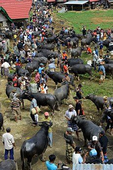 Rantepao buffalo market in Tana Toraja, Sulawesi island, Indonesia,South East Asia