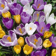 Crocus Cold Damage Will Snow Hurt Crocus Blooms Bulb Flowers, Large Flowers, Outdoor Plants, Garden Plants, Alpine Garden, Gladioli, Bougainvillea, Begonia, Flower Beds
