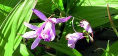 Mikaadolill - orhidee, mida võib kasvatada ka õues - Maakodu.ee