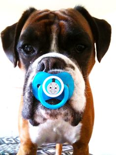 """""""Mommy says I'm a big baby"""" @Sheila States so there are other boxers just as spoiled as ours... ;)"""
