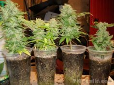 CFL Micro Grow Cannabis I really like this system. It is a great piece of furniture to have in your house. A super grow box can save you thousands of dollars. Have a peak and be taken back by its sheer brilliance.