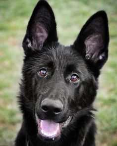 """3,150 kedvelés, 25 hozzászólás – The German Shepherd Dog (GSD) (@gsdstagram) Instagram-hozzászólása: """"What a cutie!  Follow Aiko  @aiko.gsd  Use #gsdstagram to be featured! """""""