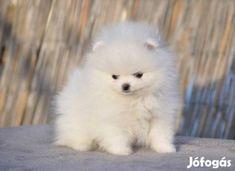 pomerániai törpespicc - Google-keresés Dogs, Cute, Animals, Google, Animales, Animaux, Pet Dogs, Kawaii, Doggies