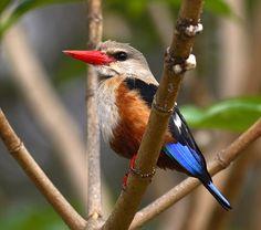 Juvenile Gray Headed Kingfisher - Tanzania