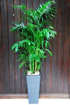 Give any home or office a tropical touch with some of our large indoor plants! All plants are pre-planted and come with a beautiful planter included.