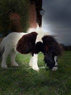 Mini Shetland, Cow, Animals, Animales, Animaux, Cattle, Animal, Animais
