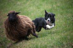 """""""Speed-Dog!""""  A Border Collie showing exactly how to herd Sheep!                                       (Photo By: Manfred Karisch Photography on 500px.)"""