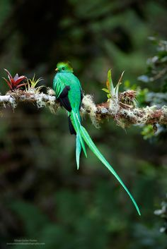 https://flic.kr/p/Qv1Dfe | Resplendent Quetzal | Without a doubt, this is one of our most special birds.  Resplendent quetzal represents many special things for the Maya culture.   Many thanks for your comments, faves, and follows :) Juan Carlos   BLOG: Click Here  MY WEBSITE: Juan Carlos Vindas Photography  YOUTUBE CHANNEL: Click Here  Google + | Facebook | Twitter | 1X Photo | Instagram  ©Juan Carlos Vindas, All ...