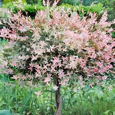 salix integra flamingo flamingo willow leaves foliage plants pinterest leaves. Black Bedroom Furniture Sets. Home Design Ideas