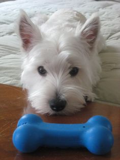Powder the West Highland Terrier Pictures 590571