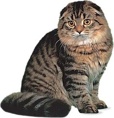 The Scottish Fold Cat