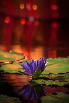 Lily Chihuly Glow, Missouri Botanical Gardens, St. Louis, Missouri
