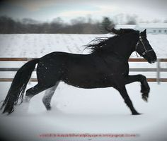 Beautiful Wallpapers: friesian horse pictures