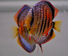 Bavarian Spotted Discus