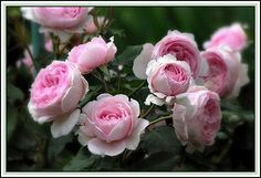 Rose22 by mamietherese1, via Flickr