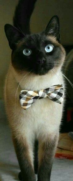 Oh, you know I hate dressing up for dinner.... #CatPhotography